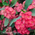 How To Grow and Care For Crown of Thorns Plant