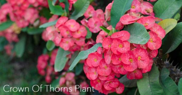 growing crown of thorns plant