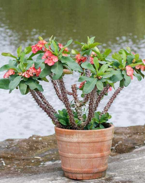 potted and flowering crown of thorns plant