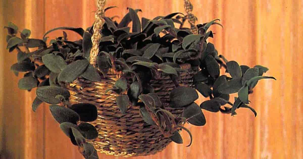 Cyanotis Kewensis Basket - Teddy Bear plant