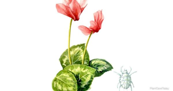Cyclamen Mites - broad mites attack a variety of plants