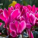 Cyclamen Plant Care: How To Care For Cyclamen Plants