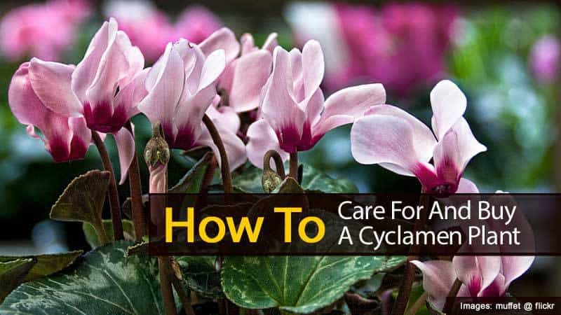 Cyclamen Care How To Grow Cyclamen Plants Plantcaretoday