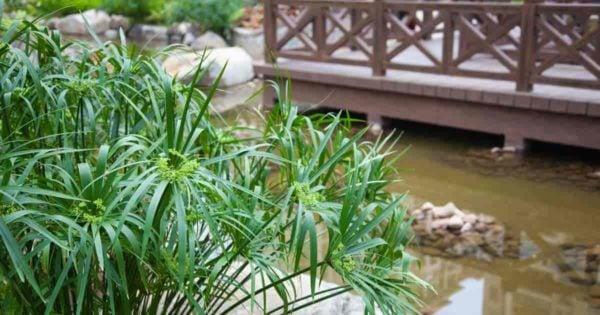 Attractive Cyperus Alternifolius growing by a backyard pond.