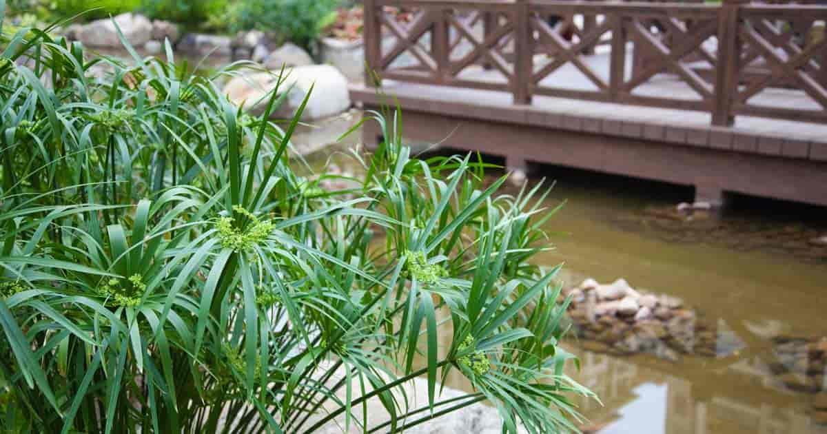 Attractive Cyperus Alternifolius growing by a backyard pond.