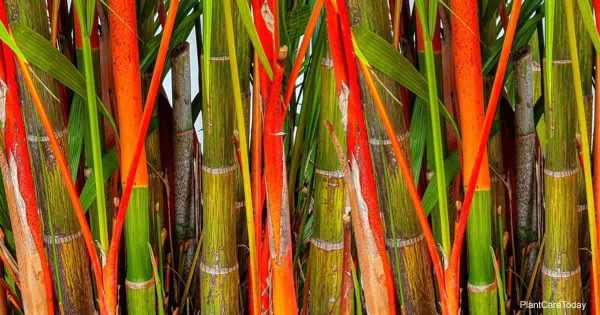 Red stems of the Lipstick Palm (Cyrtostachys Renda)