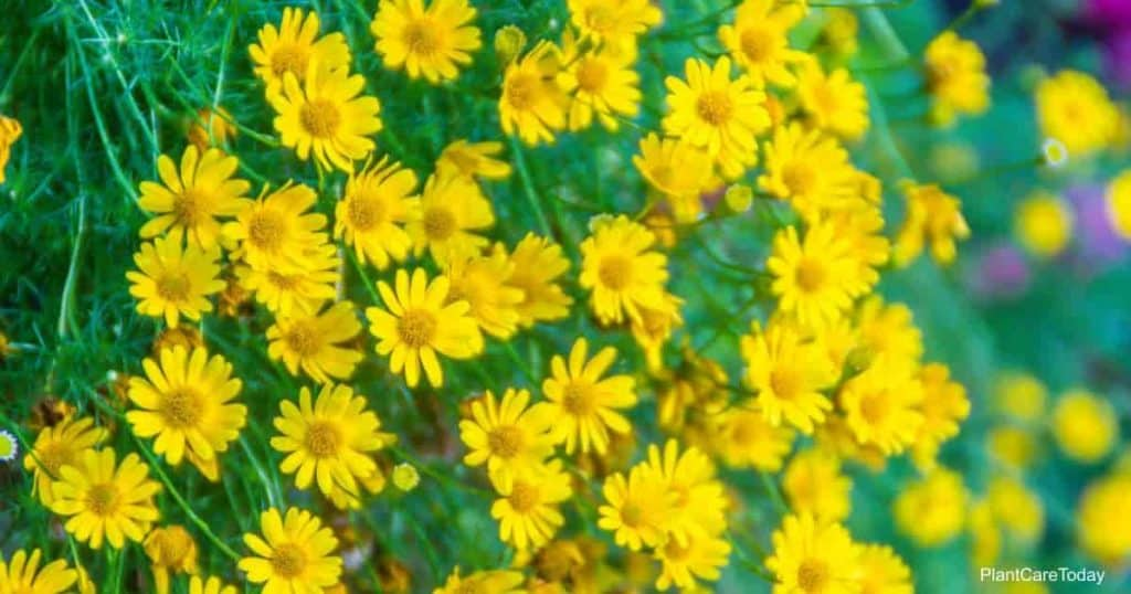 Bright yellow flowers of the Dahlberg Daisy