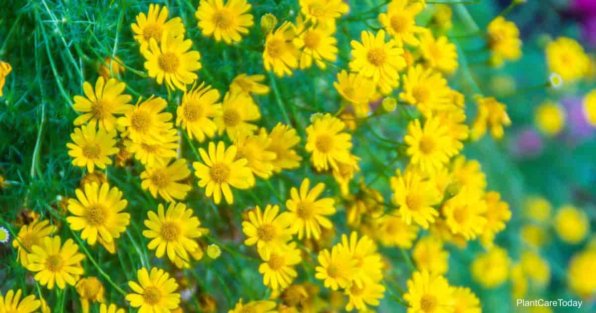 Bright yellow flowers of the Dahlberg Daisy