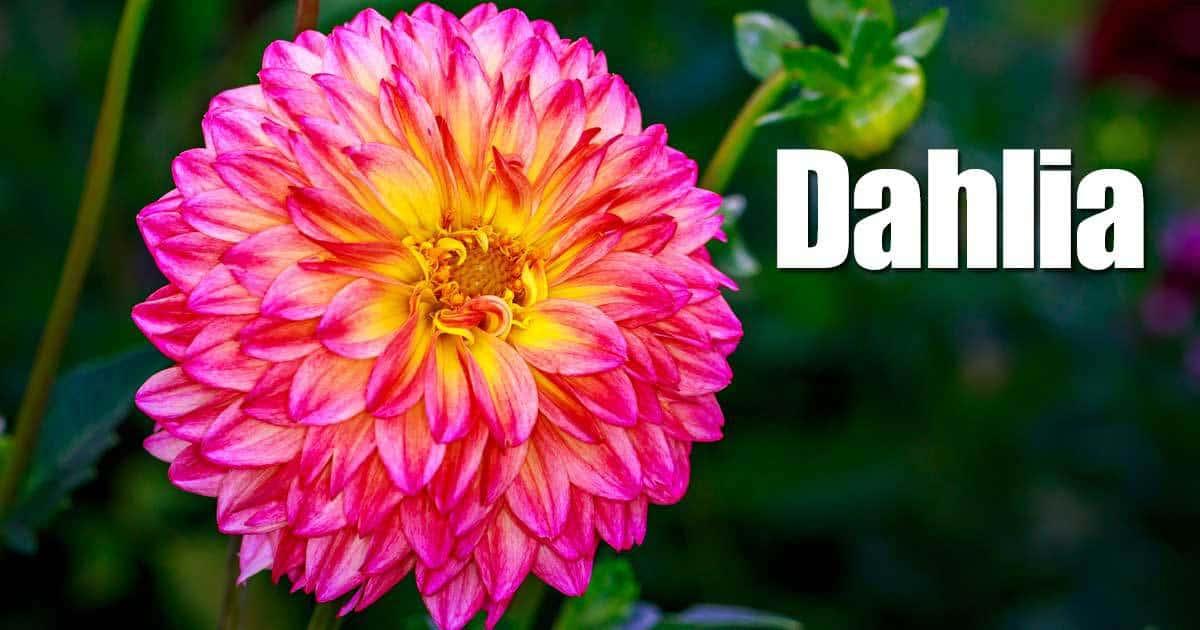Digging, Dividing And Winter Storage Of Dahlia Bulbs