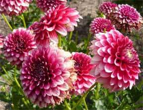 dahlia-for-winter
