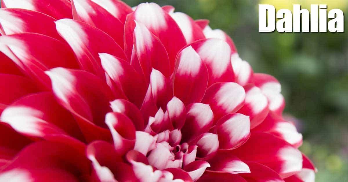 Annual Flowering Dahlia