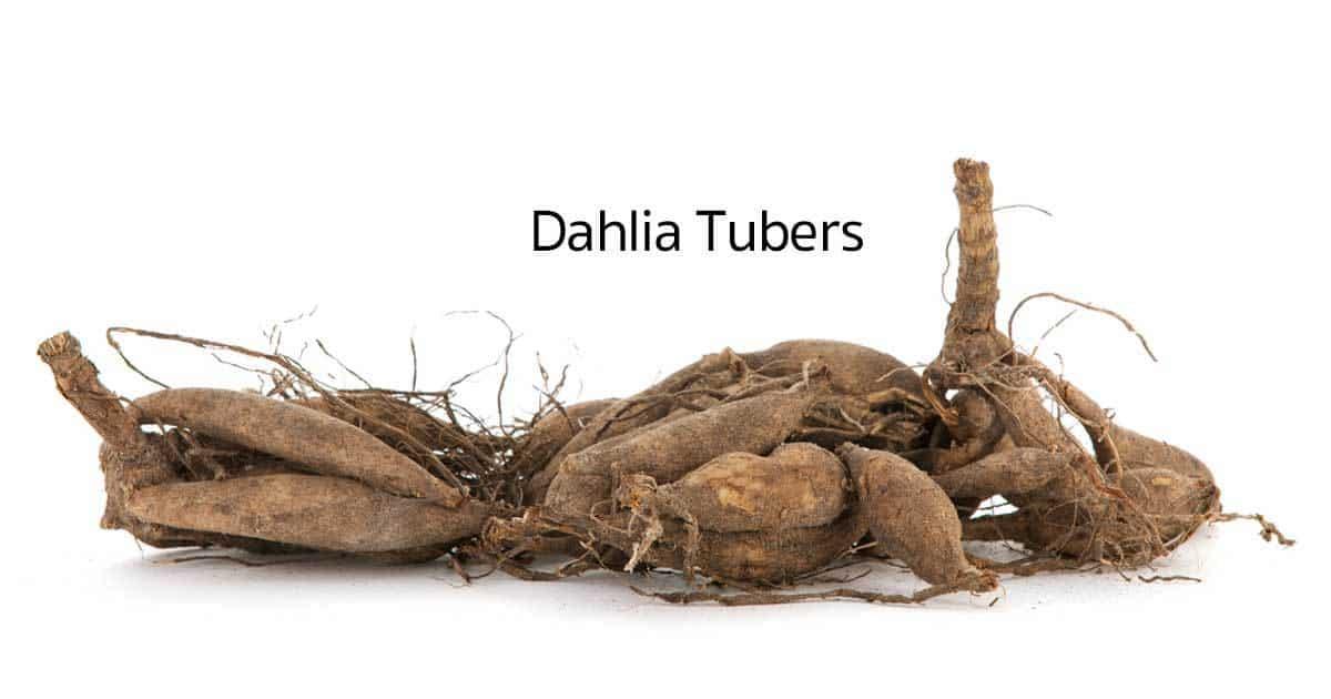 dahlia-tubers-10312015