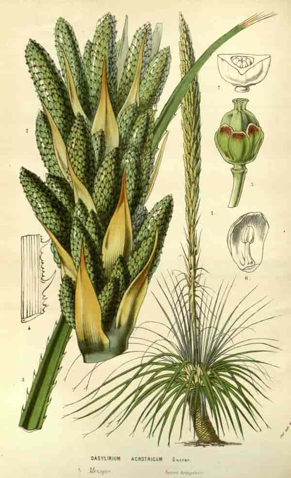 Dasylirion 'desert spoon' acrotrichum Published 1861