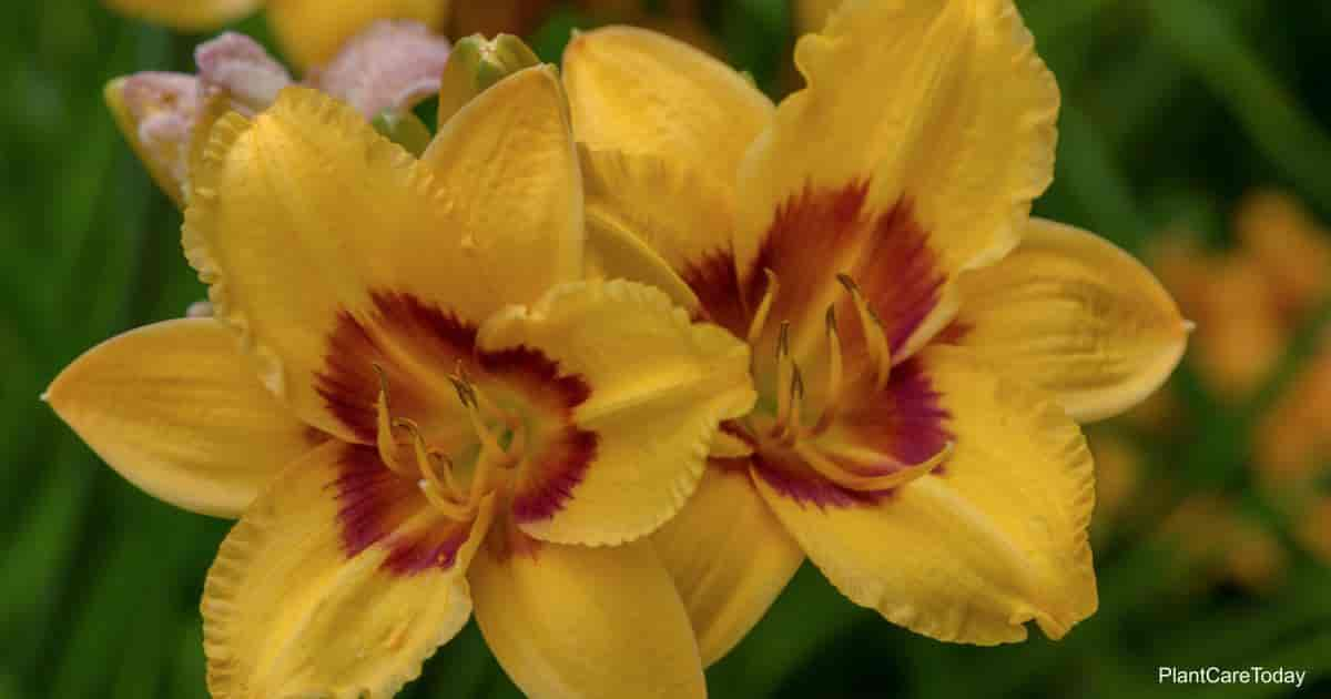 colorful daylilies yellow gold with a red throat