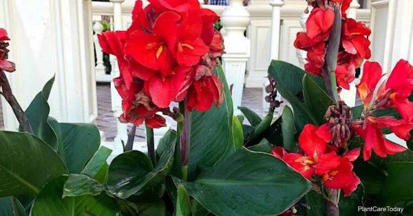 beautiful canna lily flowers at Disney World, Orlando Florida