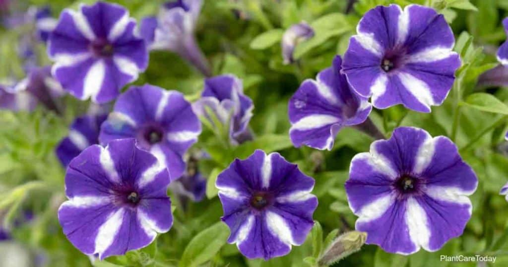 blooming petunias flower more with deadheading
