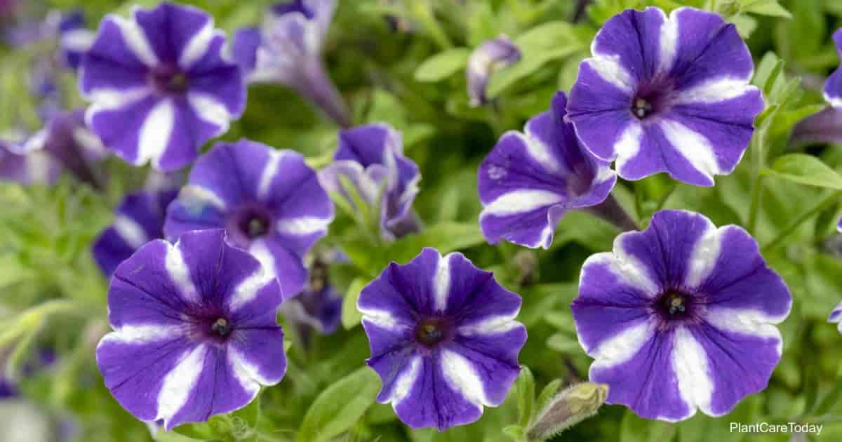 flowering petunias produce more blooms with deadheading