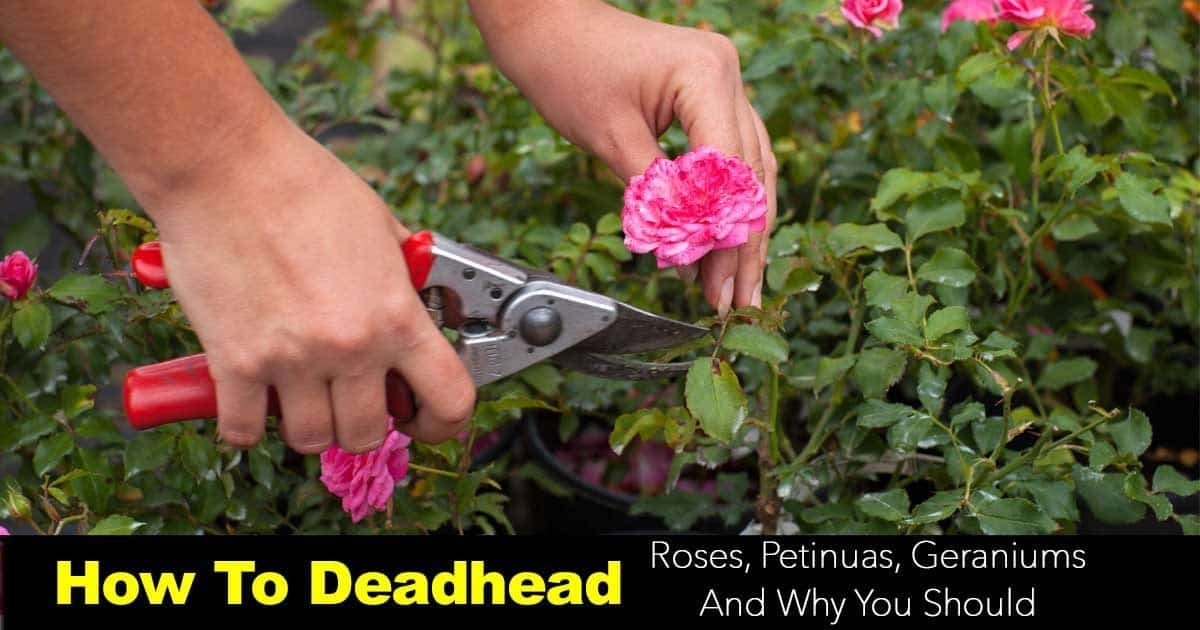 deadheading roses with Felco pruners