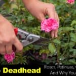 Tips For Deadheading Flowers: Roses, Petunias, Geraniums And Why You Should