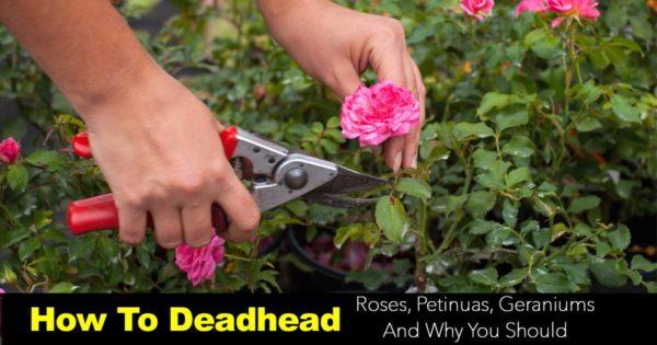 Deadheading spent blooms to extend the flower season