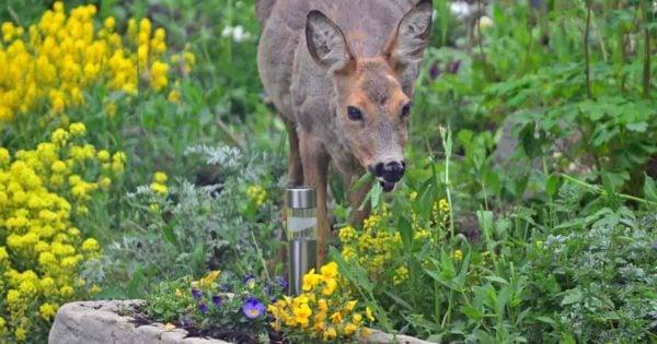 Deer feeding in the garden