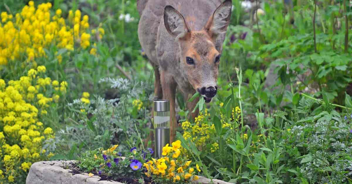 Deer feeding in the garden