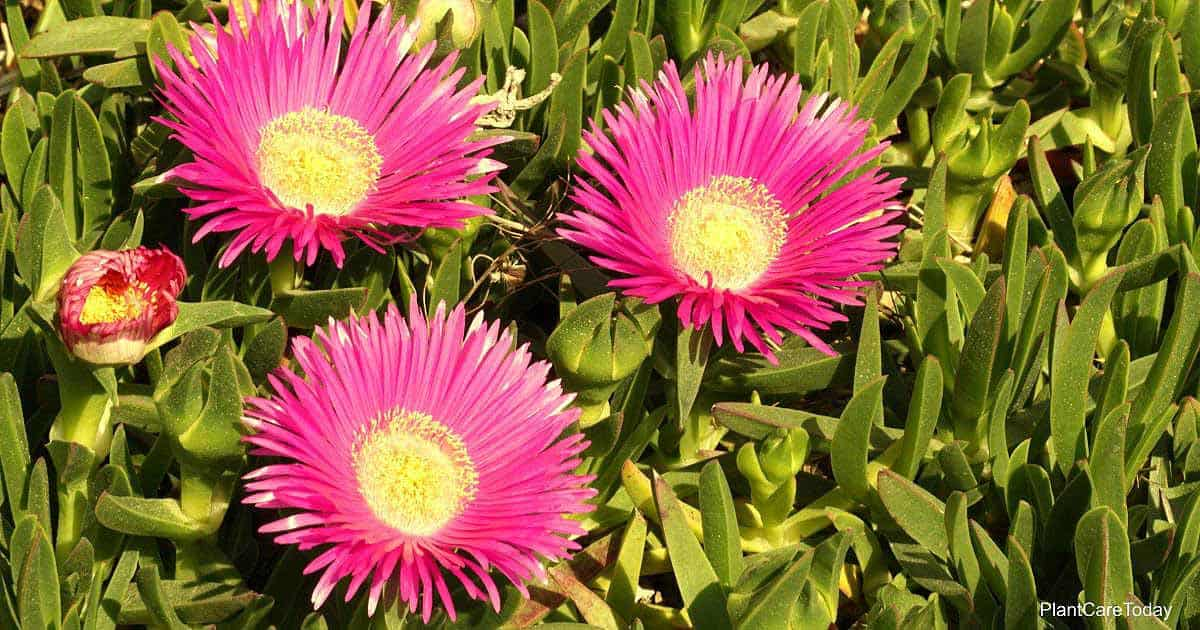 Blooms of Delosperma Cooperi a popular variety of Ice Plant
