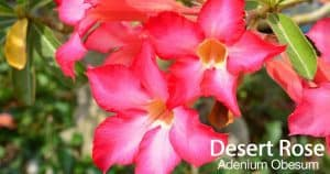 Desert Rose Care: How To Grow Adenium Obesum Plants