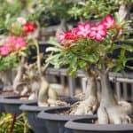 Desert Rose Bonsai Growing And Care Information