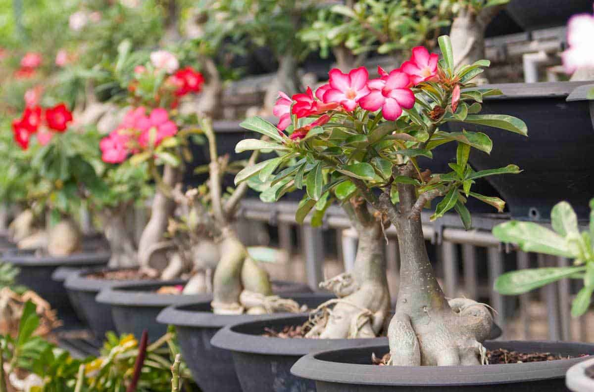 collection of blooming bonsai desert rose plants
