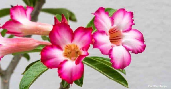 Flowering Desert Rose (Adenium Plant)