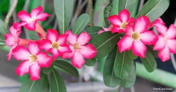 Flowers of the desert rose plant that some consider poisonous