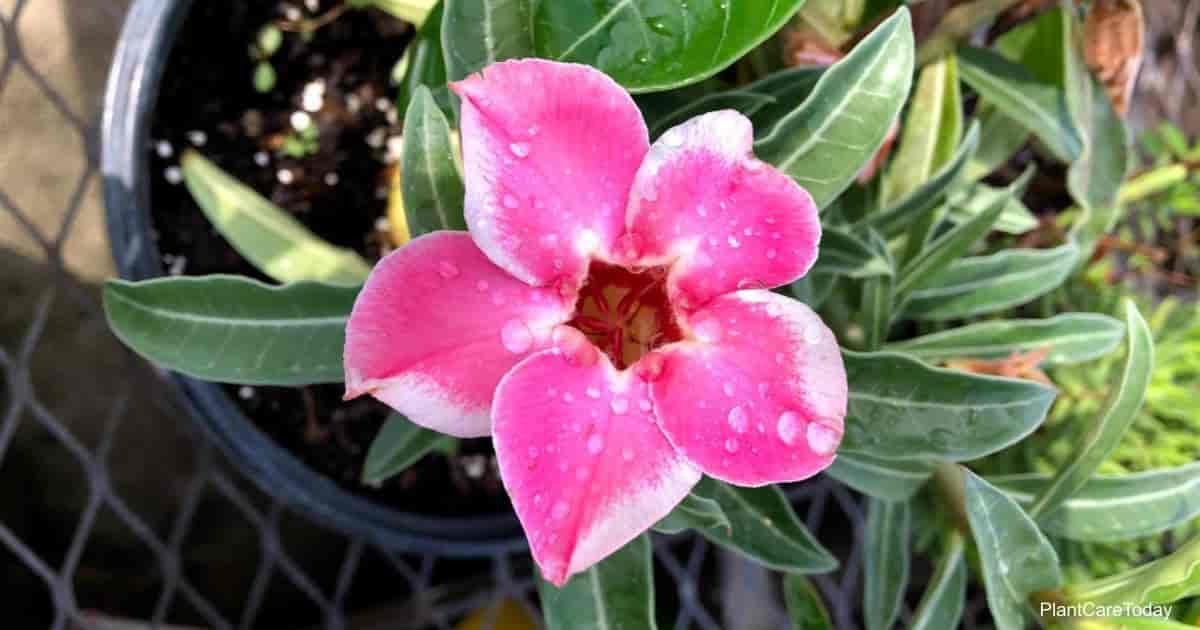 Colorful flowering Desert Rose growing in a good potting soil