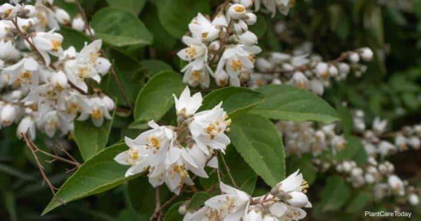 Blooming Slender Deutzia Gracilis