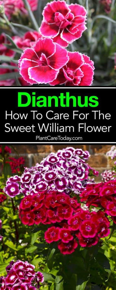 Dianthus How To Care For The Sweet William Flower