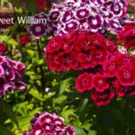 Dianthus: How To Care For The Sweet William Flower