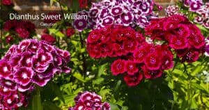 Attractive flowers of the Sweet William Dianthus - Pinks