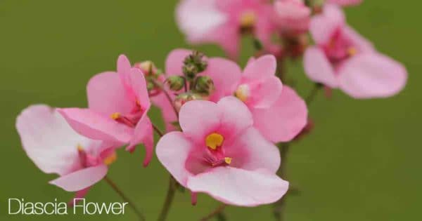 Pink flowers of the Diascia plant