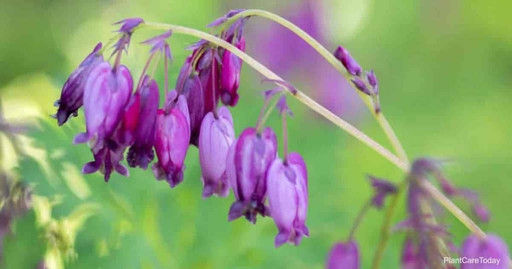 Blooms of The Dicentra Eximia Wild Bleeding-heart