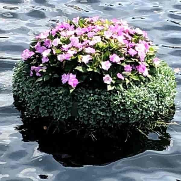Dichondra basket floating in pond at Epcot Flower Festival