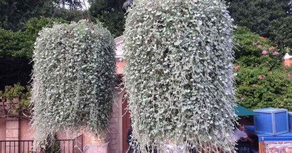 Dichondra plant hanging basket - Hollywood Studios, Disney World, Orlando, Florida