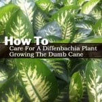 How To Care For A Diffenbachia Plant – Growing The Dumb Cane
