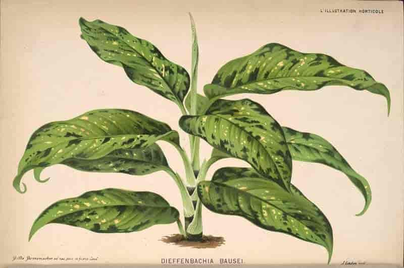Dieffenbachia bausei