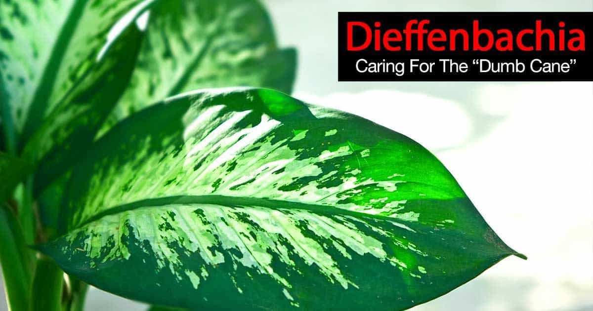 Dieffenbachia Plant How To Grow And Care For The Dumb Cane