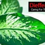 Dieffenbachia Plant: How To Grow And Care For The Dumb Cane