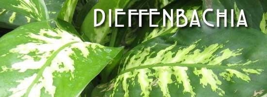 dieffenbachia-plant-550