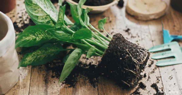 Toxic poisonous Dieffenbachia plant laying on table