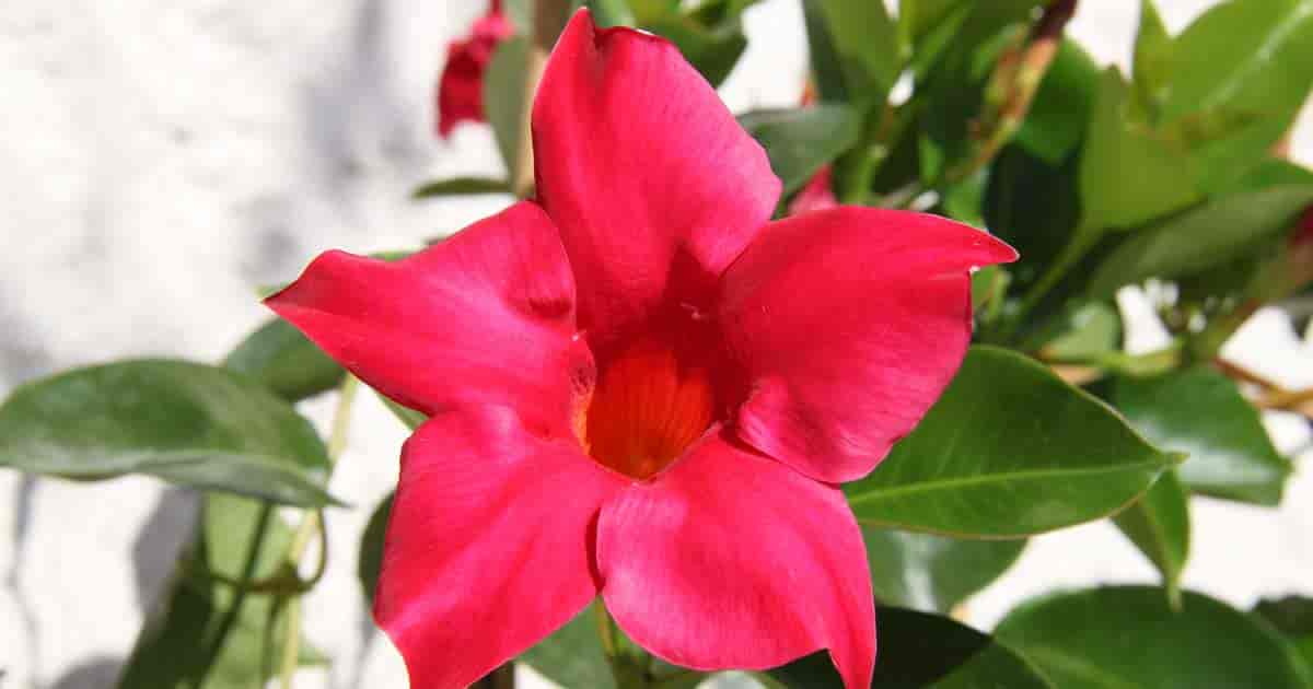 Red Dipladenia (Mandevilla) flower