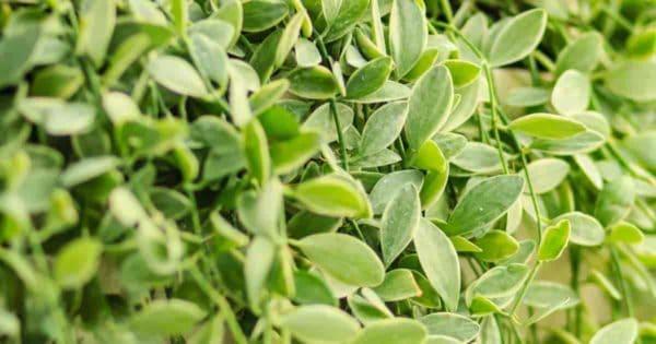 Hanging basket succulent Dischidia nummularia varigata