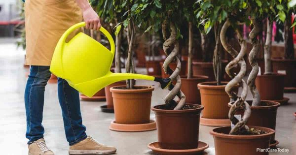 using pure water for watering plants